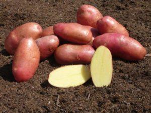 Сорт картофеля Краса: характеристика, отзывы, урожайность