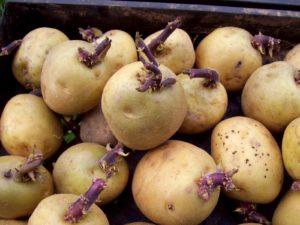 Картофель Каратоп: характеристика сорта, отзывы, вкусовые качества