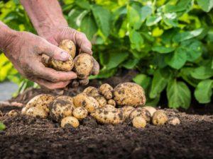 Картофель Весна: характеристика сорта, отзывы, урожайность