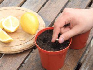 Характеристика домашнего лимона Мейера