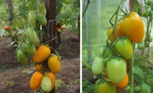Томаты Лисичка: отзывы с фото, характеристика, урожайность