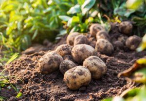 Сорт картофеля Ласунок: характеристика, фото, отзывы, урожайность
