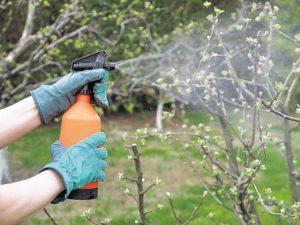 Ржавчина на груше: чем лечить весной, летом, осенью, как бороться