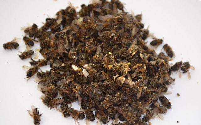 Пчелиный подмор при простатите и аденоме простаты: лечение, рецепты настоек и отваров