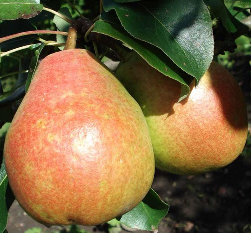 Через сколько лет начнет плодоносить груша?