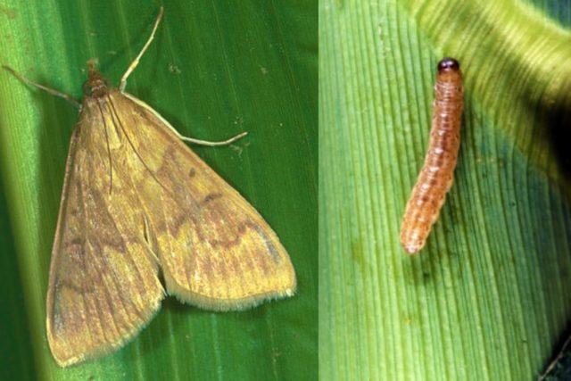 Как сажать кукурузу: посадка и уход, особенности выращивания