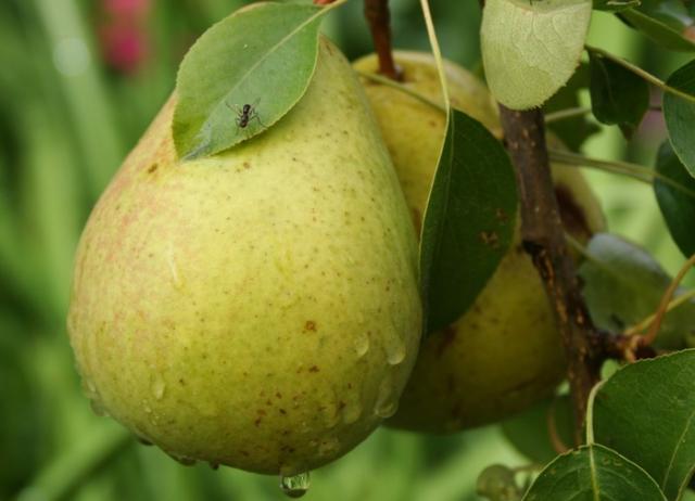 Основные причины, почему не цветет и не плодоносит груша