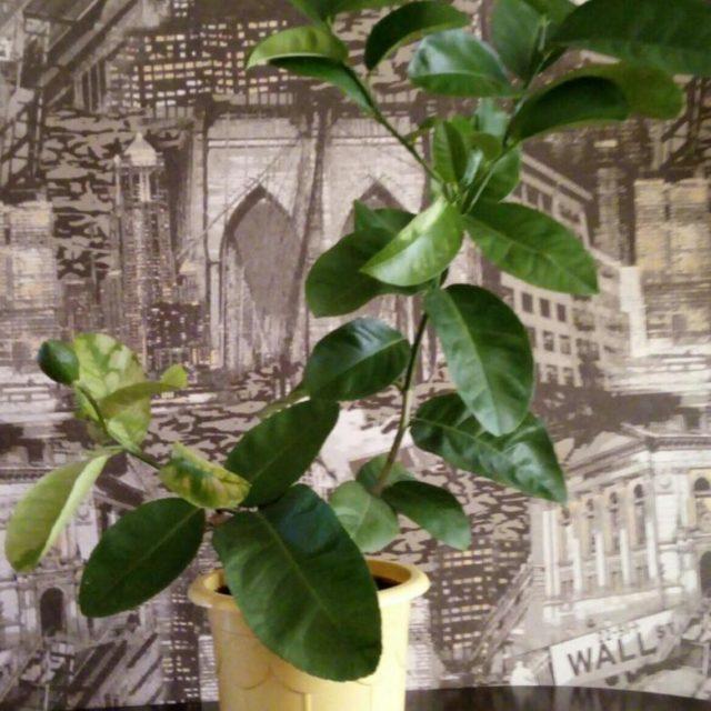 Как размножить лимон черенками в домашних условиях