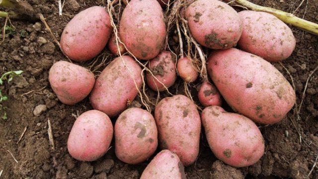 Сорт картофеля Изюминка: характеристика, урожайность, агротехника
