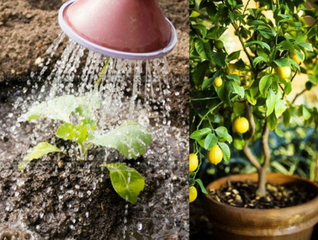 Как часто поливать лимон в домашних условиях в горшке