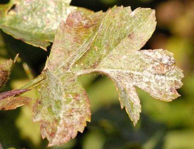 Боярышник колючий (обыкновенный): описание растения, посадка и уход