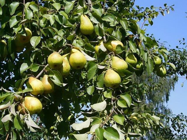Груша не плодоносит, не цветет: причины и что делать