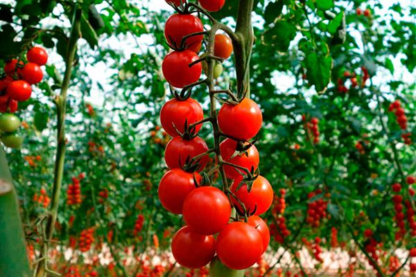 Денежное дерево (толстянка): особенности и описание цветка, строение растения