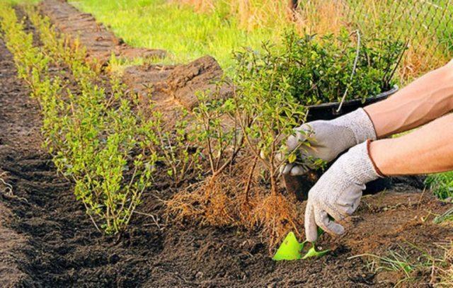 Размножение боярышника дома: семенами, черенками, прививкой