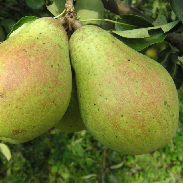 Как размножить грушу из ветки (черенка): укоренение и выращивание