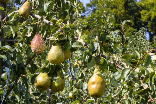Гниют и трескаются плоды груши на дереве: что делать