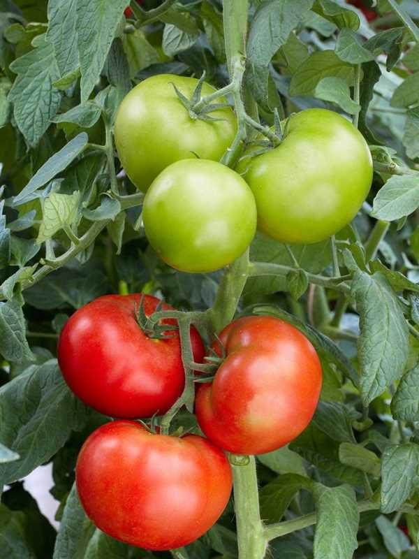 Сорт томата Мясистый-сахаристый: отзывы, описание и фото