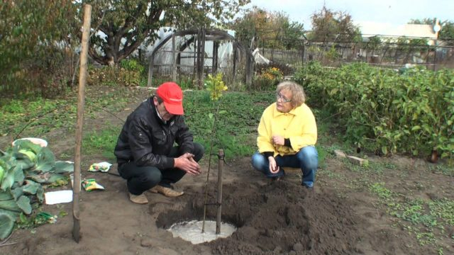 Груша Рогнеда: характеристика сорта, особенности выращивания