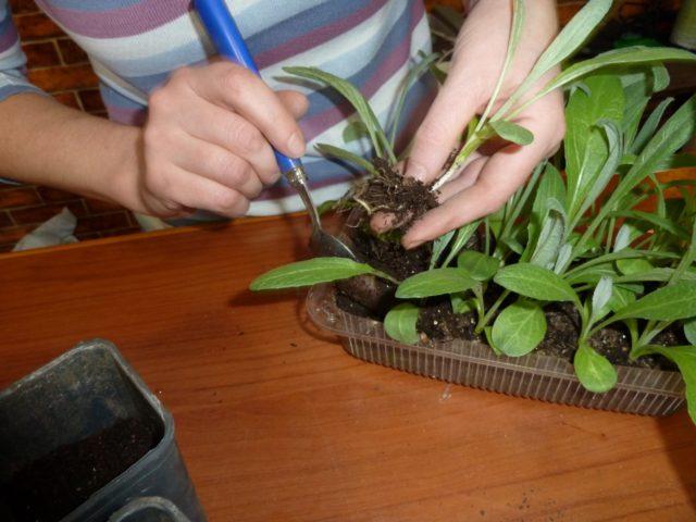 Артишок: выращивание из семян, рассады, посадка и уход в открытом грунте, в домашних условиях, фото, отзывы