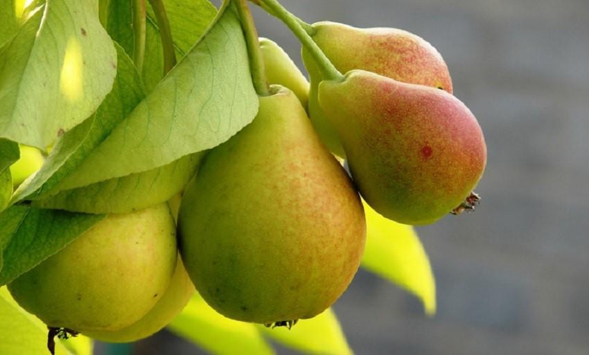 Груша польза вред для организма человека, калорийность, витомины