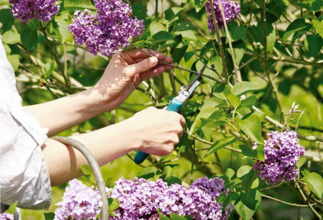 Живая изгородь из сирени своими руками: как сделать + фото в ландшафтном дизайне