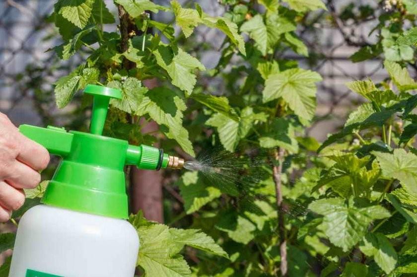 Чем обработать смородину осенью от почкового клеща