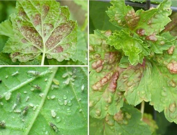 Сода от тли на смородине: для обильного урожая, от мучнистой росы, правила обработки