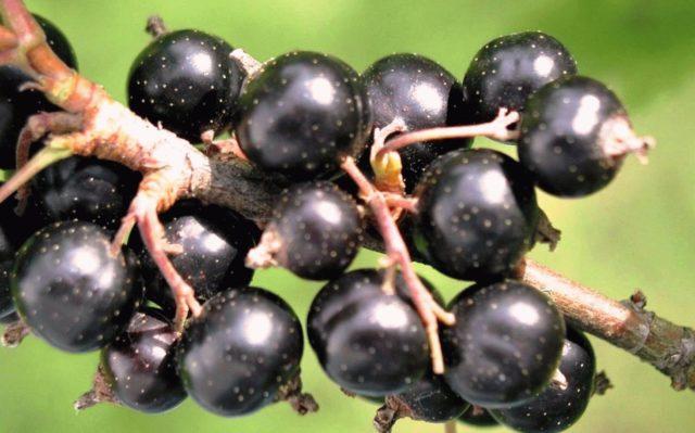 Почему не плодоносит красная и черная смородина: какие причины и как исправить