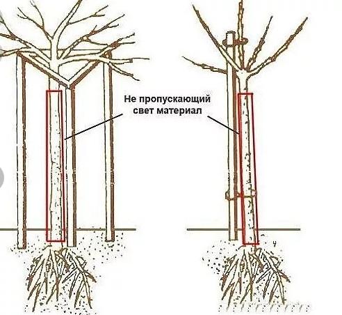 Смородина штамбовая (на штамбе): посадка и уход, отзывы, формирование куста