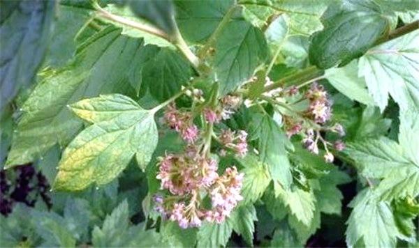 Махровость (реверсия) смородины: лечение, меры борьбы, устойчивые сорта