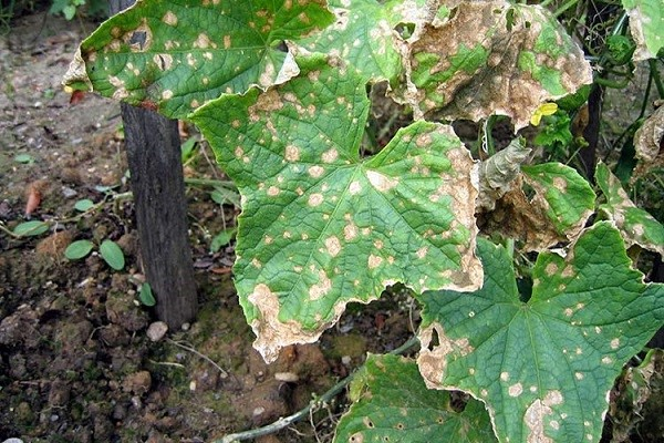 Препарат Топсин-М - мощное средство для защиты овощей и деревьев от болезней