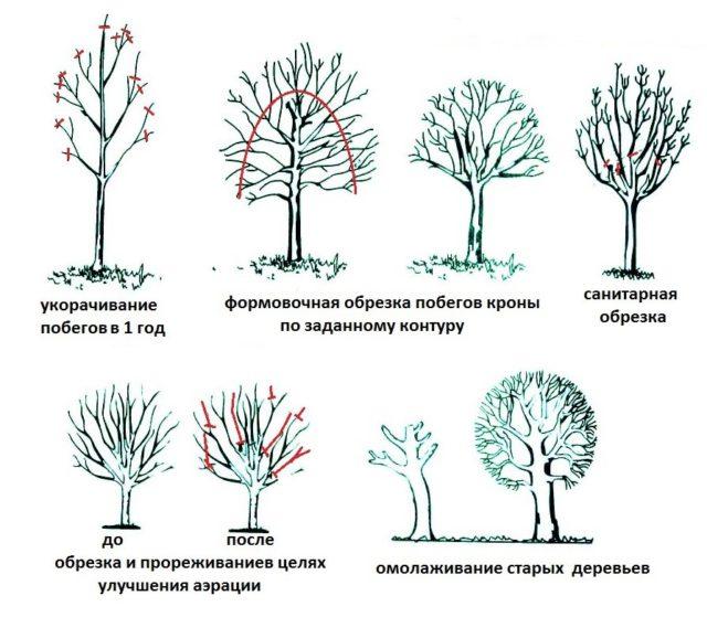 Рябина Ликерная: описание сорта, фото