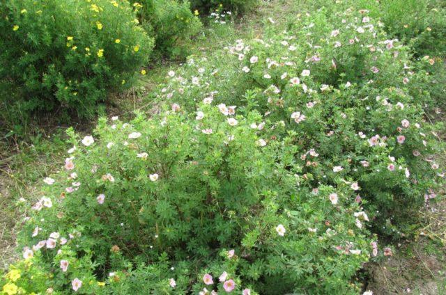 Кустарниковая лапчатка Лавли Пинк (Пинк Бьюти): описание, фото