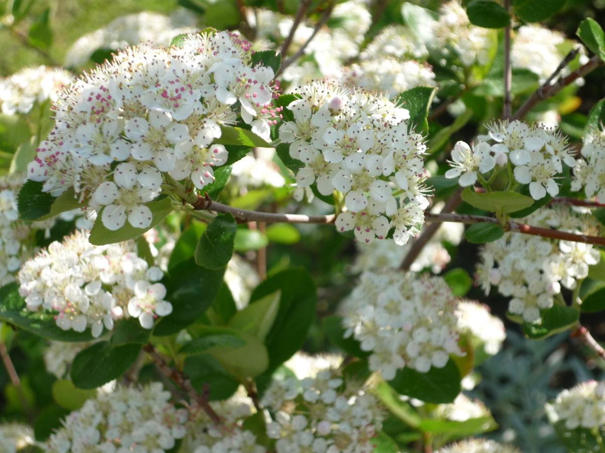 Как цветет рябина весной: обыкновенная, черноплодная, какое соцветие, почему не цветет, что делать