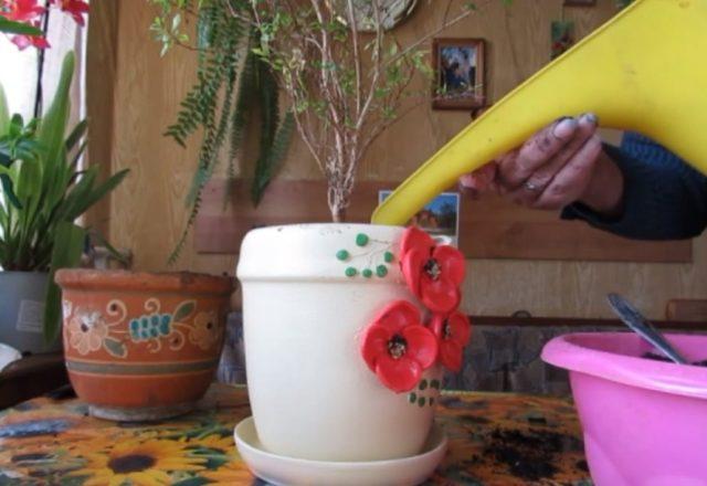 Декоративный гранат: уход в домашних условиях