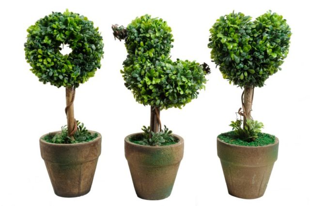 Самшит: что это за растение, фото и описание кустарника, виды и сорта