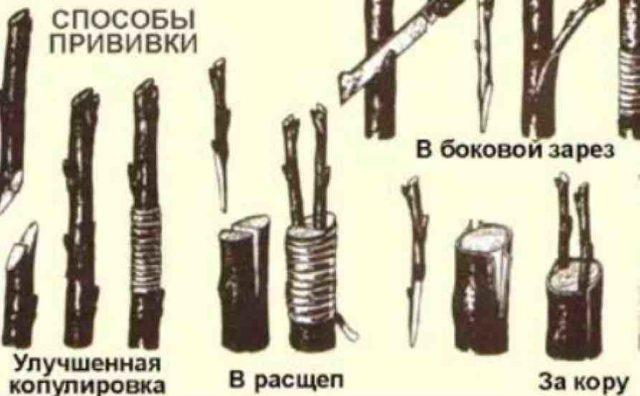 Рябина сорта Бурка: описание   фото, обрезка