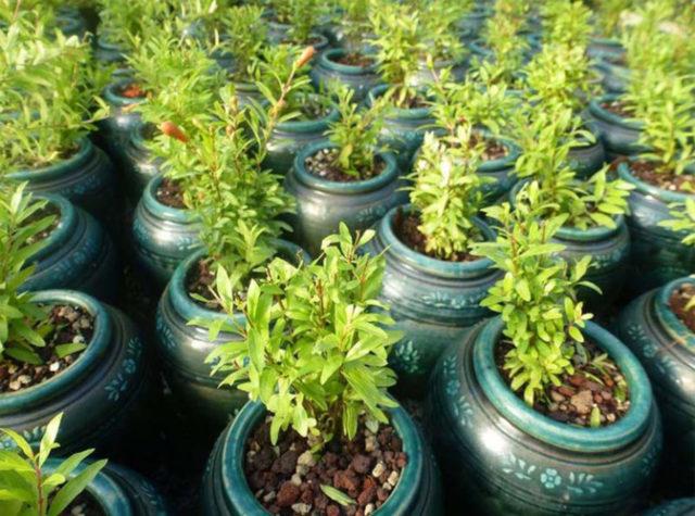 Гранат: как посадить и вырастить дерево, черенок