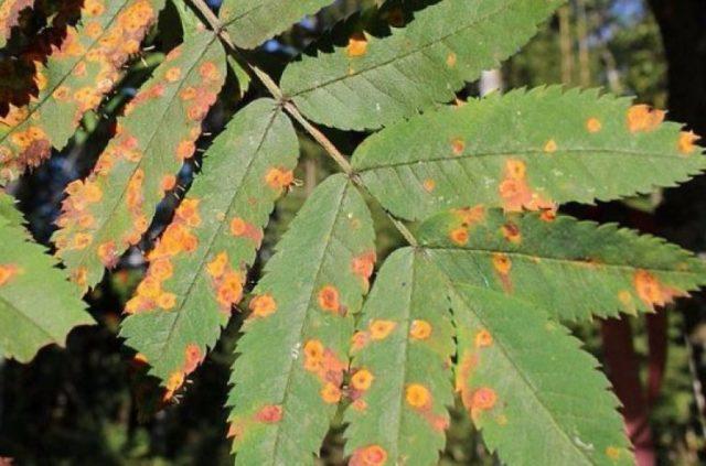 Когда цветет рябина: фото цветов, цветущего дерева