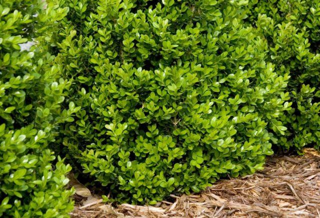 Самшит: посадка и уход в открытом грунте весной, осенью, фото