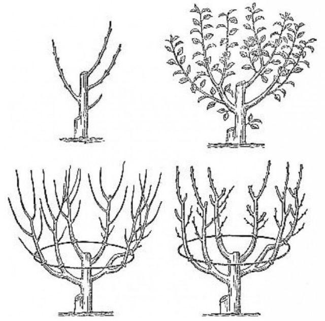 Формирование кроны молодой яблони схема фото