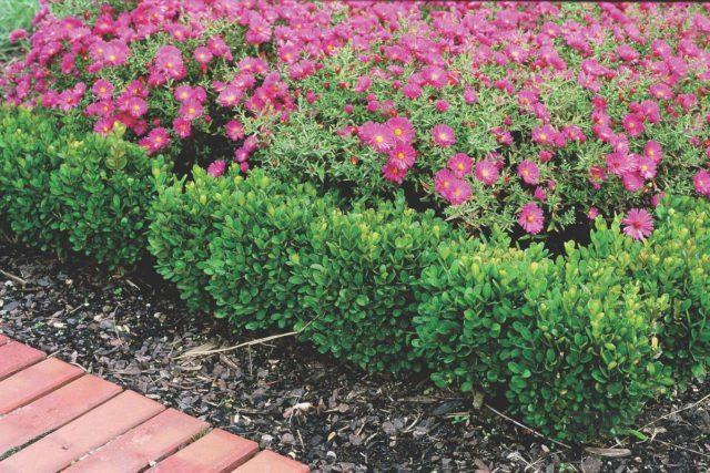 Живая изгородь из самшита: фото, посадка