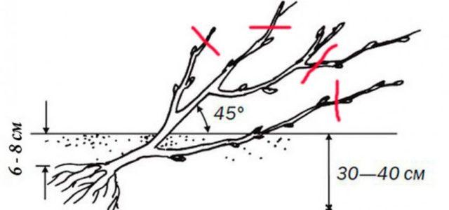 Красная смородина Ровада: описание и характеристика сорта