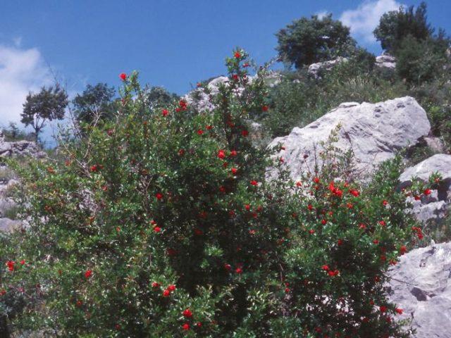 Как растет гранат: фото в природе, как выглядит дерево