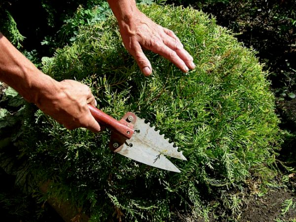 Как подстричь можжевельник казацкий: сроки, правила, советы