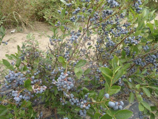 Голубика Бонус: описание сорта, отзывы, посадка и уход