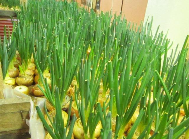 Посадка лука на перо (зелень) в теплице весной