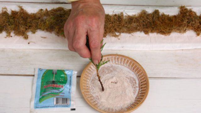 Размножение можжевельника черенками в домашних условиях