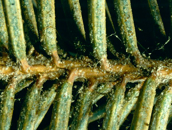 Вредители и болезни можжевельника: фото и их лечение
