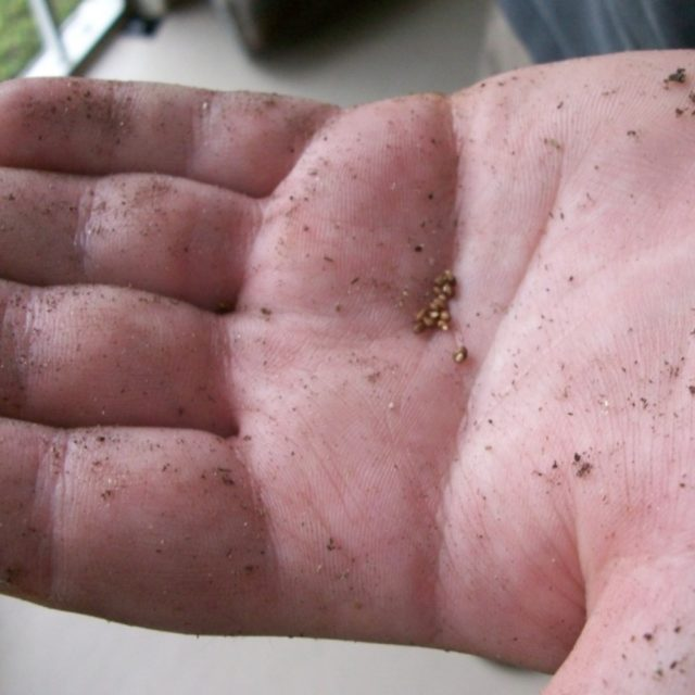 Выращивание калибрахоа из семян в домашних условиях